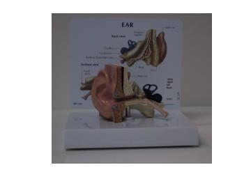 Model of an ear.